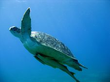 Free DivingEgypt_Turtle01 Royalty Free Stock Photography - 17650637