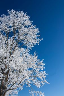 Free Tree With Frost Royalty Free Stock Photography - 17650997