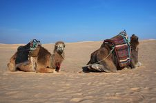 Free Resting Camels Stock Photo - 17651850