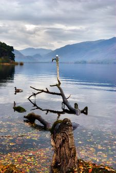 Free Gull Perched On Branch In A Lake Royalty Free Stock Image - 17653226