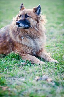 Belgian Shepherd Dog Royalty Free Stock Images