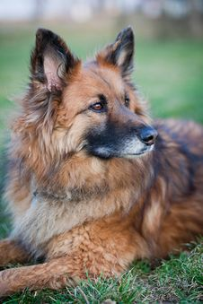 Free Belgian Shepherd Dog Royalty Free Stock Photography - 17653487