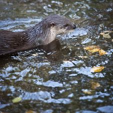 Free Otter Stock Photos - 17653663