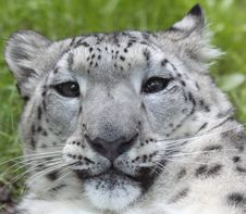 Free Snow Leopard 03 Royalty Free Stock Photos - 17654508