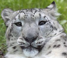Free Snow Leopard 03 Royalty Free Stock Photos - 17654508