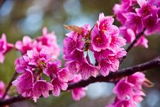 Free Thai Sakura. Royalty Free Stock Images - 17654929