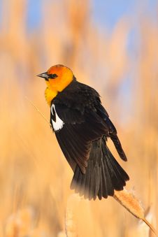 Free Yellow-headed Blackbird, Montana Stock Image - 17654961