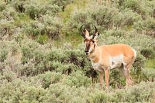 Pronghorn In Sagebrush Stock Images
