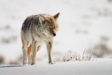 Free Coyote In Bright Snow Stock Photography - 17655192