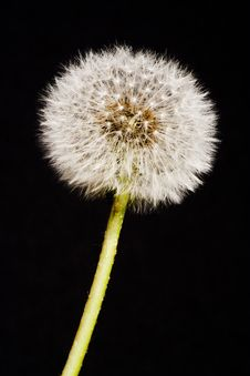 Free Dandelion, Taraxacum Officinal Stock Photo - 17655350