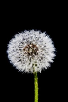 Free Dandelion Seed Head 2 Stock Images - 17655354