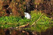 Free Great Egret Royalty Free Stock Photos - 17655438