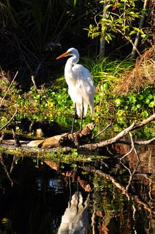 Free Great Egret Stock Photography - 17655452
