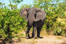 Free African Elephant (Loxodonta Africana) Stock Photo - 17655930
