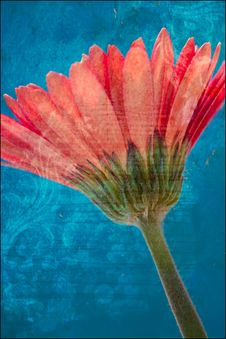 Free Vintage Effect On Gerber Daisy Royalty Free Stock Image - 17656836