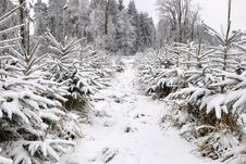 Free Winter In Forest Royalty Free Stock Images - 17656909