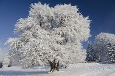 Free Snow Tree Under Blue Sky Royalty Free Stock Photography - 17658717