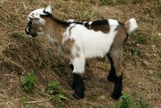 Free Goat Kid Stock Photo - 17659300