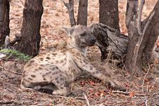 Free African Spotted Hyena Stock Photos - 17659353