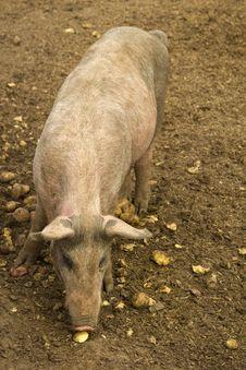 Free Feeding Pig Stock Photo - 17659630