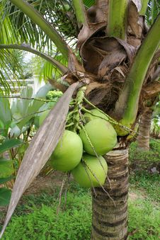 Free Coconut Tree Stock Photos - 17659993