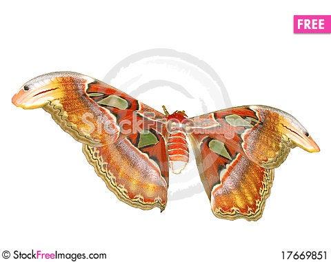 Free Atlas Moth Stock Image - 17669851