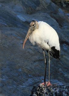 Wood Stork (Mycteria Americana) Stock Images