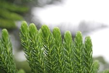 Free Green Cooky Pine Stock Photography - 17661552