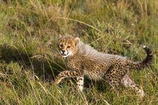 Free Baby Cheetah Stock Images - 17661794