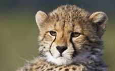 Free Cheetah Portrait Royalty Free Stock Images - 17661819