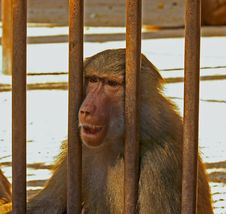 Free Sad Baboon Royalty Free Stock Photo - 17665285