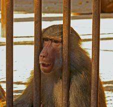 Sad Baboon Royalty Free Stock Photo