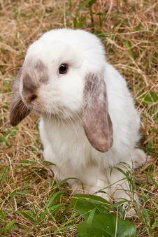 Free White Rabbit Royalty Free Stock Photo - 17666185
