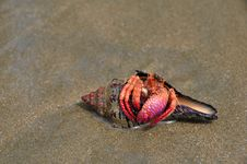 Free Hermit Crab With The Pink Claw, Sitting In Its She Royalty Free Stock Photography - 17666247
