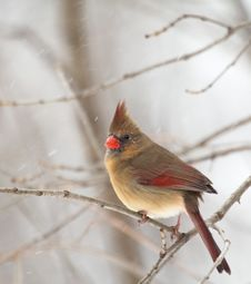 Female Northern Cardinal, Cardinalis Cardinalis Royalty Free Stock Photos
