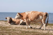 Free Two Cows On The Bank Stock Photography - 17667592