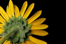 Free Wild Sunflower Royalty Free Stock Photo - 17668535