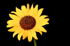 Free Wild Sunflower Royalty Free Stock Photography - 17668537