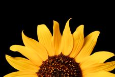 Free Wild Sunflower Royalty Free Stock Images - 17668539