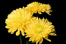 Free Yellow Spider Mum Stock Photography - 17668542