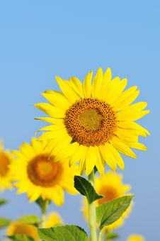 Free Sunflower With Blue Sky Royalty Free Stock Photos - 17669178