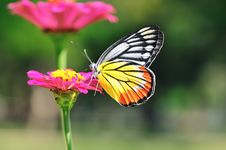 Free Butterfly Swarm Pink Flower Royalty Free Stock Photography - 17669497