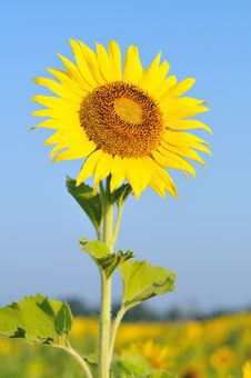 Free Sunflower With Blue Sky Stock Images - 17669594