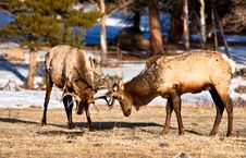 Free Elk At Play Stock Photography - 17669672