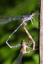 Free Damselfly Mating Royalty Free Stock Photo - 17674555