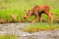 Free Moose Calf Crossing Stream Stock Photography - 17675762