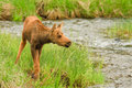 Free Moose Calf Stock Image - 17675901