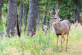 Free Young Mule Deer Buck Royalty Free Stock Photo - 17675995