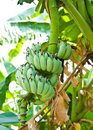 Free Banana Blossom And Bunch On Tree Royalty Free Stock Photo - 17677905