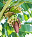 Free Banana Blossom And Bunch On Tree Stock Images - 17677974